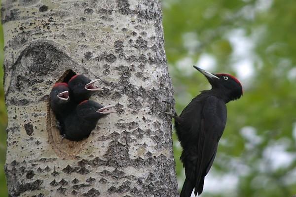Black-woodpecker-bird-information-facts