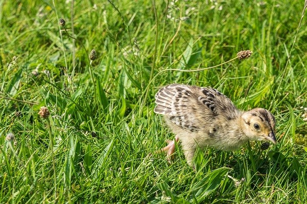 Common-Pheasant-Chicks