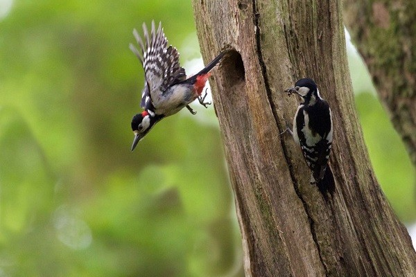 Great-spotted-woodpecker-breeding-nesting