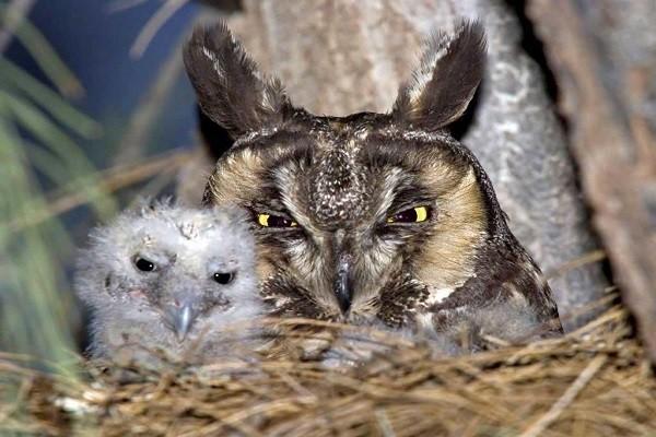 Long-eared-owl-nesting-breeding