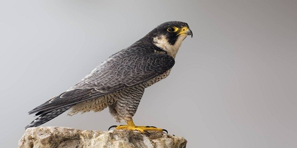 Peregrine Falcon Birds information and Facts