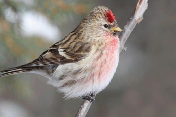 Redpoll-nesting-breeding