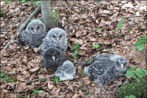 Ural-Owl-Breeding-Family