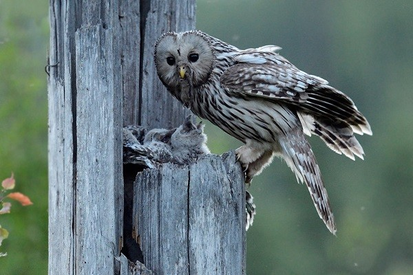 Ural-owl-birds-information-facts