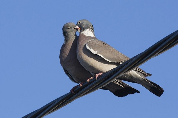 Wood-Pigeon-Family