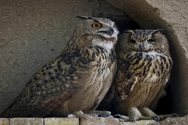 Eurasian eagle owl Family Breeding
