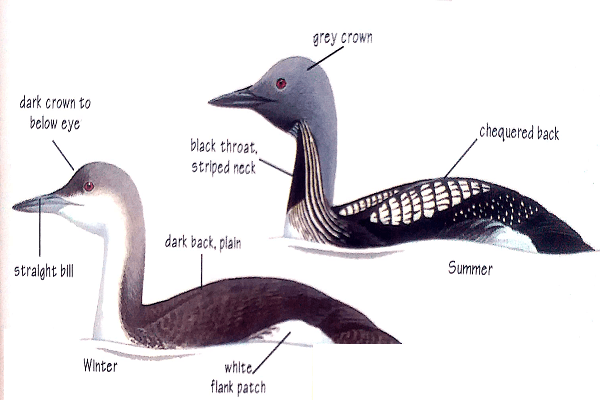 Black-Throated-Diver-Identification