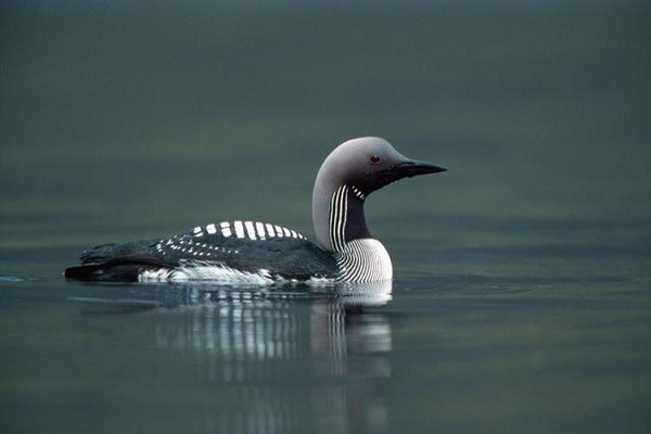 Black-Throated-Diver-facts-habitat-breeding