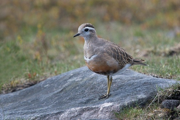 Dotterel-bird-identification-habitat-nesting-breeding