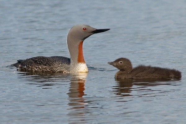 Red-throated-Diver-facts-habitat-identification-breeding