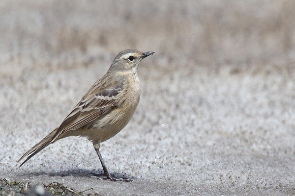 Water-Pipit-Bird-Fact-and-Information
