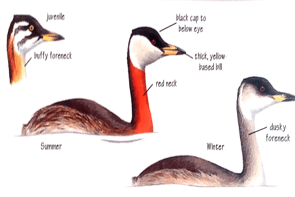 red-necked-grebe-identification