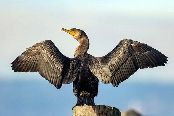 Cormorant Bird information Facts Identification and Breeding