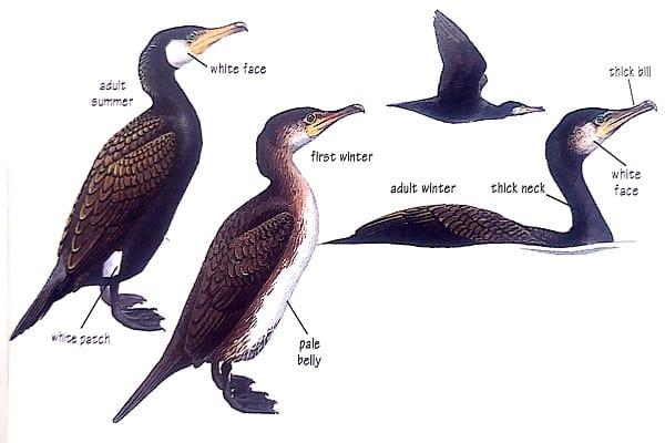 Cormorant bird identification