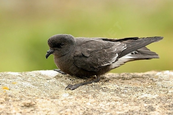 European-Storm-Petrel-bird-information-identification-facts