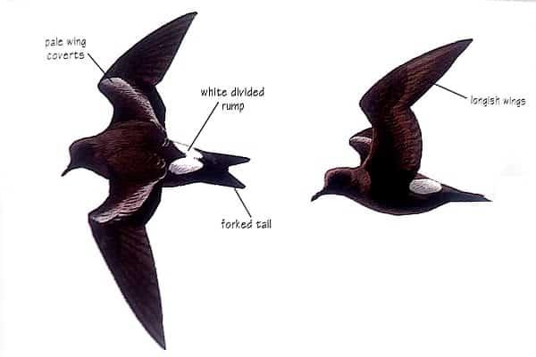Leach's Storm-petrel bird identification