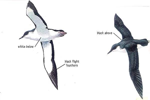 Manx Shearwater Bird Identification