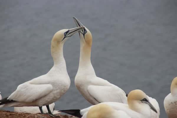 Northern Gannet Bird Information Facts Identification