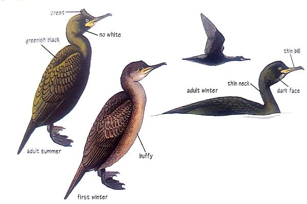 shag bird identification