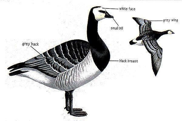 Barnacle-goose-bird-identification