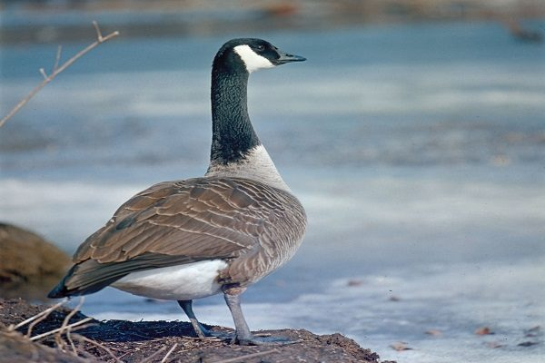 Canada Goose Bird information and facts