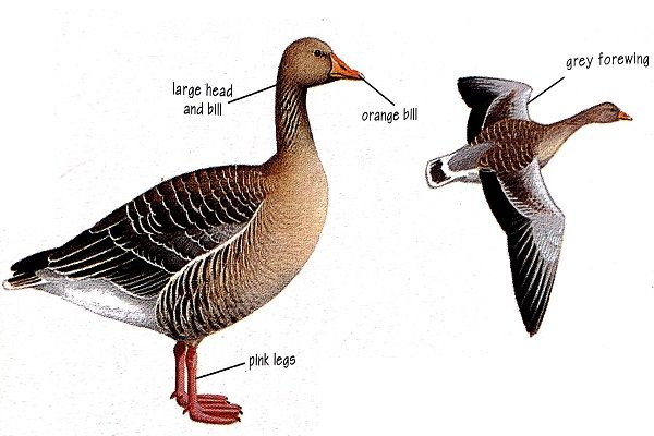 Greylag-goose-identification