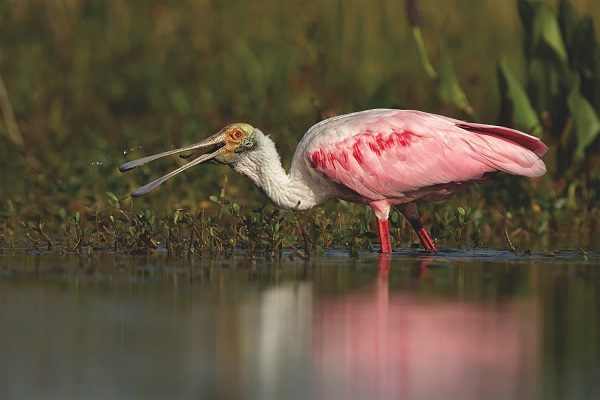 Spoonbill bird information and facts