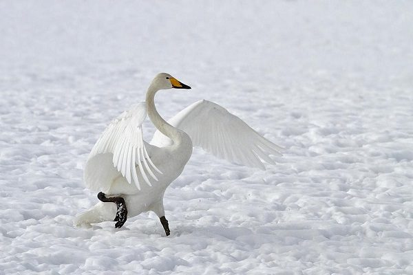 Whooper Swan bird information and facts