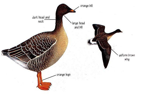 taiga-bean-goose-bird-identification
